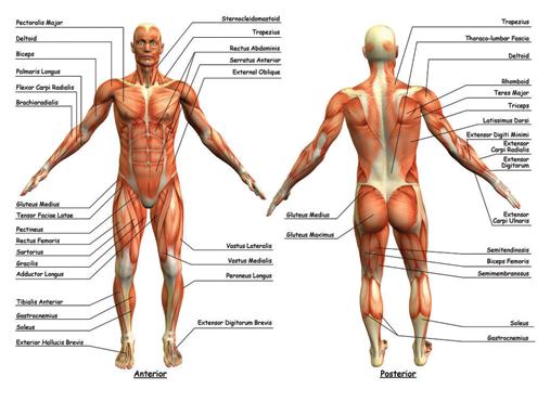 Anatomy Kinesiology Ace Of Cups Austin Texas